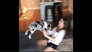 Aussie Puppy Keeps Leaping Off Couch Into Owner's Arms - Video