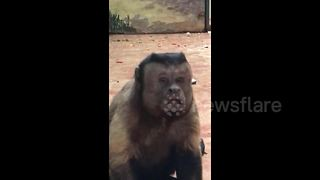 Strange monkey with a humanlike face breaks the internet - Video