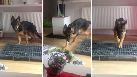 Ruff day – Puppy gets confused trying to climb into collapsed crate
