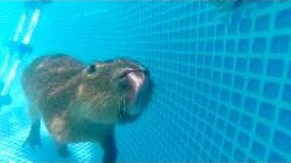 Cute Capybara Takes a Swim in the Pool - Video