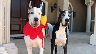 Funny Great Danes Talk Turkey About Thanksgiving Hat