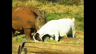 Rhino And Goat Make Friends - Video