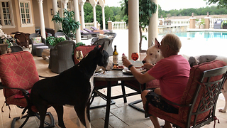 Great Dane Sits at The Table Like a Person