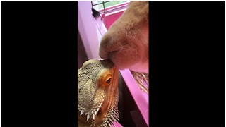 Rabbit gives bearded dragon big fat kiss