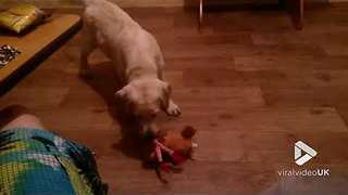 Little Labrador Gets Annoyed By A Noisy Toy - Video