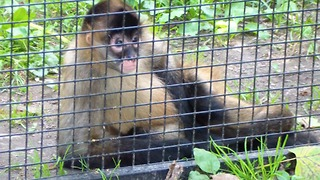 Monkeys are cute, this one poses for the camera  - Video