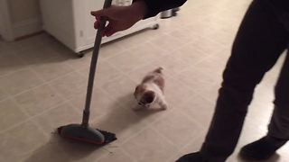 An Adorable Puppy Chases A Broom