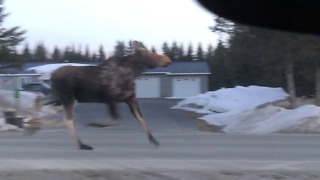 Little Girl Has A Hilarious Reaction To Galloping Moose On The Road