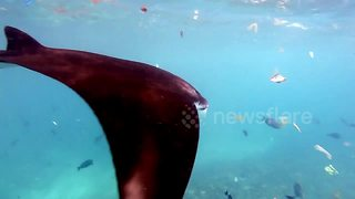 Manta ray swims amongst plastic waste - Video