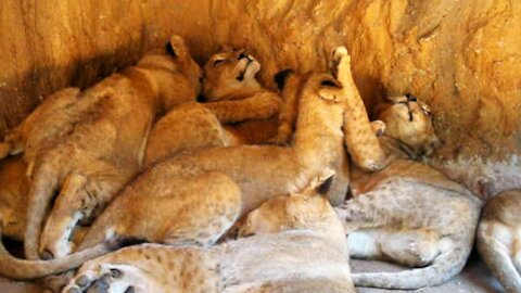 Just an adorable pile of sleepy lion cubs
