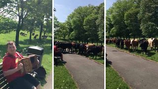 Udderly captivating! Cows transfixed as man serenades them with accordion folk tunes