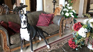 Great Dane and Her Cat Love Massive Floral Arrangements  - Video