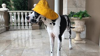 Great Dane wears his rain hat for Tropical Storm Eta