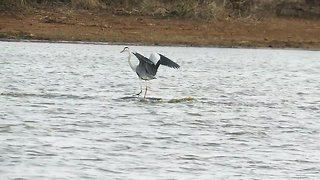 Go with the flow: Bird surfs across dam on hippo's back - Video