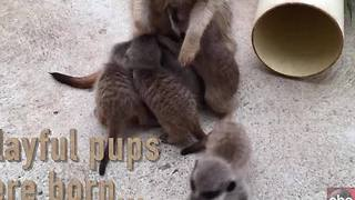 Taronga Zoo in Australia welcomes its largest litter of Meerkats ever - Video