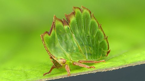Treehopper disguises as leaf to escape hungry predators