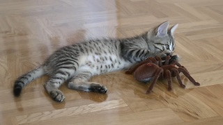 Fearless kitten takes on giant RC spider