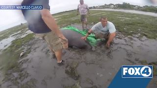 Manatees stranded by Hurricane Irma rescued - Video