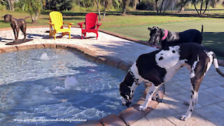 Happy Great Danes Enjoy Their First Drink Out Of Their New Pool