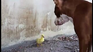 Mother duck watches on as pit bull inspects her duckling