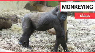 Adorable moment mischievous baby gorilla attempts to annoy his older brother