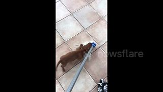 Cute sausage dog puppy wears out owner - Video