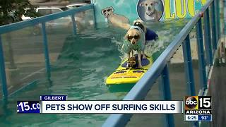 Surfing dogs and cats in Gilbert! - Video