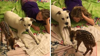Sweet pup welcomes home rescued distressed fawn