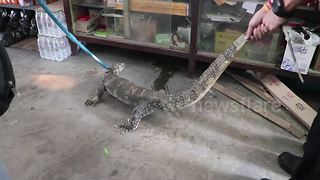 Monitor lizard caught after raiding a shop store room - Video