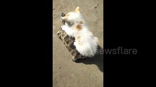 Cute kitten hitches a ride on tortoise's back - Video
