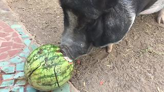 Frustrated pig can't crack open watermelon