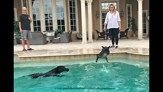 Great Danes Watch Funny Diving French Bull Dog and Lab