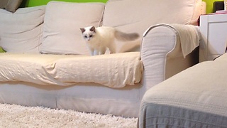Kitten thinks he's a puppy, loves to play fetch - Video