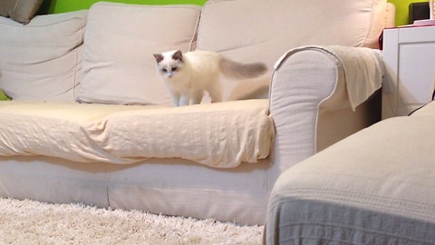 Kitten thinks he's a puppy, loves to play fetch