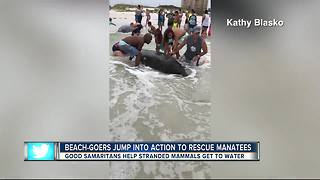 Clearwater Fire rescue helps stranded manatees - Video