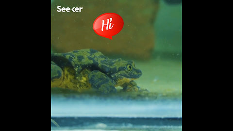 The World's Loneliest Frog Finds His Juliet