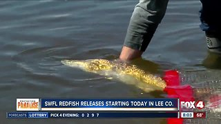 Red tide recovery: Redfish releases in Lee, Charlotte, Collier counties