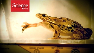 Sticky frog tongues explained - Video