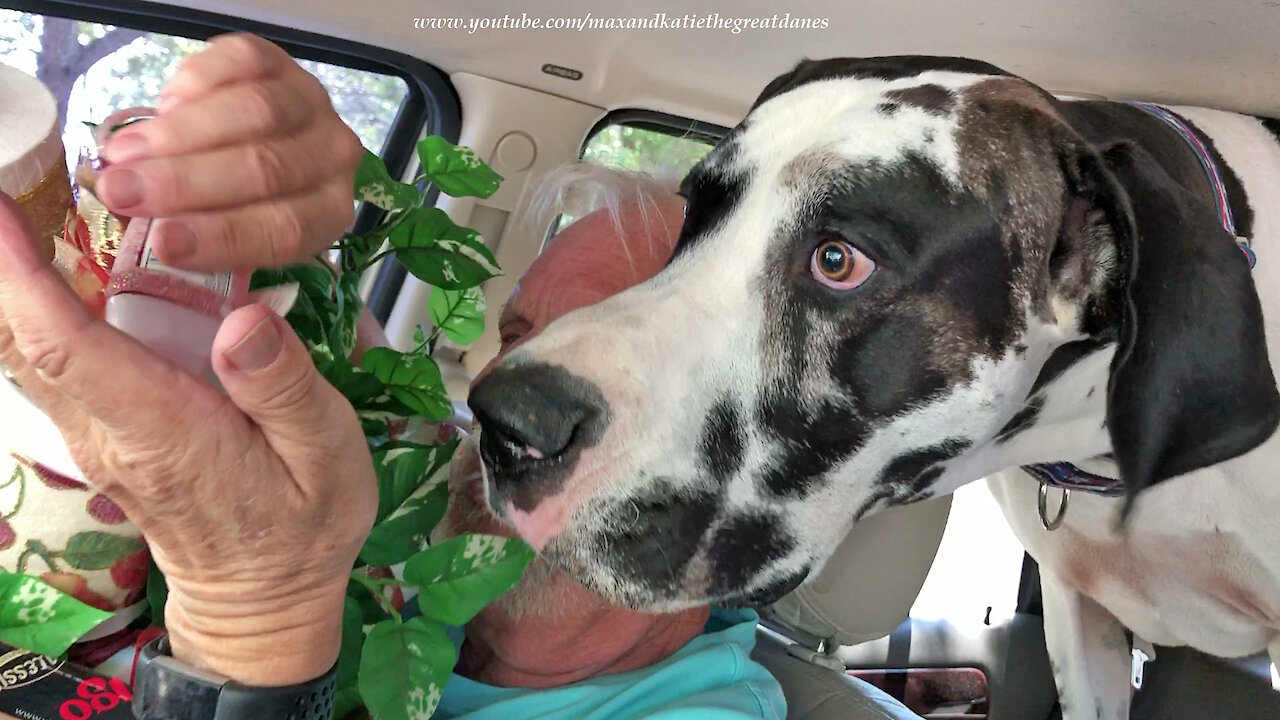 Excited Great Danes enjoy their first post-quarantine car ride