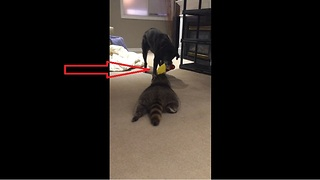 Dog challenges pet raccoon to tug-of-war match  - Video
