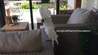 Happy cockatoo can't stop singing & dancing