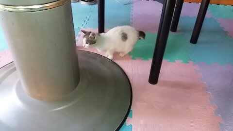 49day old cat - part6(The fat cat under the round table.)