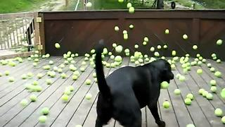 Dog Fan Of Tennis Balls Gets To Chase Them To His Heart's Content - Video
