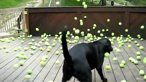 Dog Fan Of Tennis Balls Gets To Chase Them To His Heart's Content