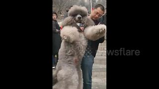 Chinese man struggles to carry oversized poodle down steps - Video