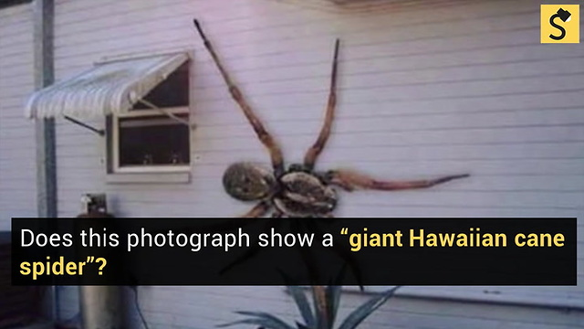 Fact Check Is This Giant Spider Real