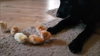 German Shepherd Puppy Meets Day Old Chicks And It's Adorable