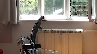Blind cat hunts pigeon by sound