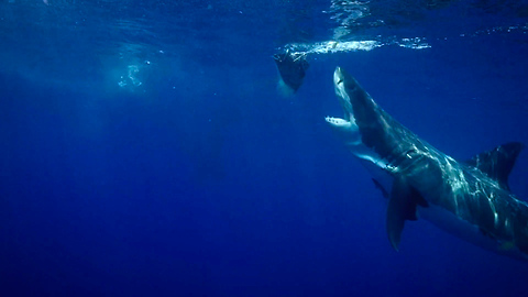 Great White Shark Breaches Caught On Camera