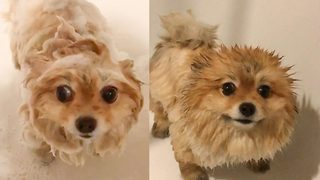 Pomeranian loves her pamper time! Adorable video shoes pooch enjoying shower time - Video